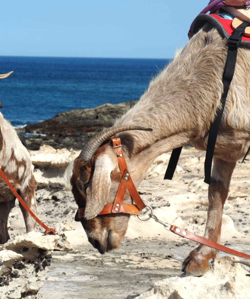 Walking with Goats in Fuerteventura